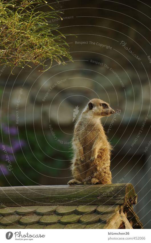 Alles unter Kontrolle Tier Wildtier Tiergesicht Fell Pfote Erdmännchen Säugetier Landraubtier Manguste 1 beobachten hocken Blick stehen außergewöhnlich frech