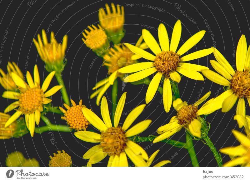 Greiskraut schön Pflanze Blume schwarz gelb Blüte Hintergrundbild Dekoration & Verzierung viele