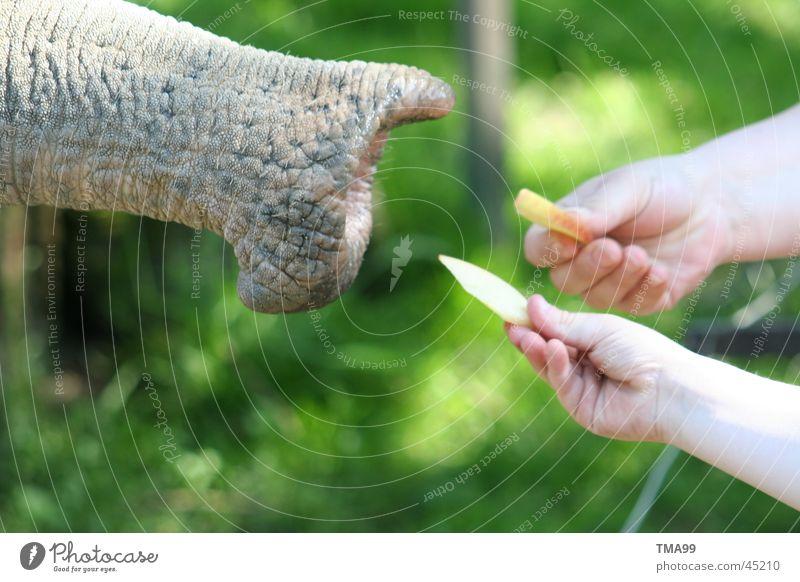 """""""Riesen"""" - ham Hand grün Ernährung Apfel Zoo Elefant Rüssel Tierpark Hagenbeck"""