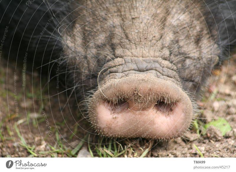 Nase Nase Verkehr Schwein Hausschwein Stecker Sau Ferkel Grunzen