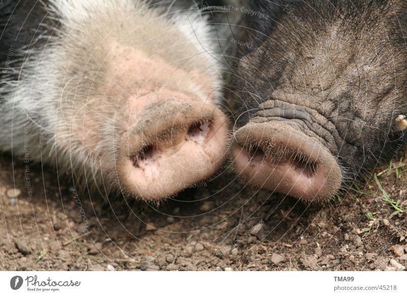 Doppelstecker Nase Verkehr Schwein Sau Steckdose Grunzen Schweinschnauze