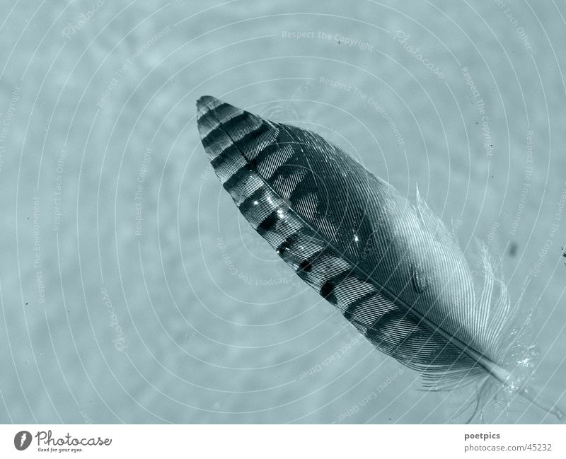 feder-leicht-nass Wasser Vogel Feder Rabenvögel Eichelhäher