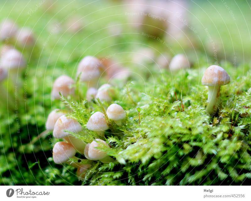 winzig kleine Großfamilie... Umwelt Pflanze Herbst Moos Wildpflanze Pilz Wald stehen Wachstum ästhetisch authentisch frisch Zusammensein natürlich braun grün