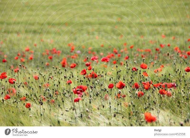 Mohntag... Umwelt Natur Landschaft Pflanze Sommer Schönes Wetter Blume Nutzpflanze Getreide Gerste Gerstenfeld Mohnblüte Feld Blühend stehen Wachstum ästhetisch