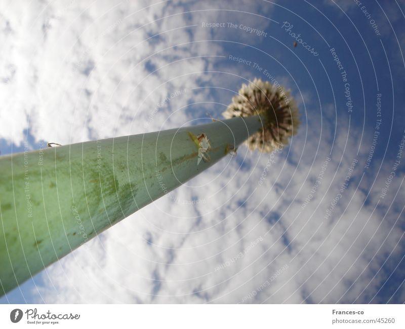 Zierlauch aus der Ameisenperspektive Natur Himmel Pflanze Wolken Blüte Stengel Fluchtpunkt