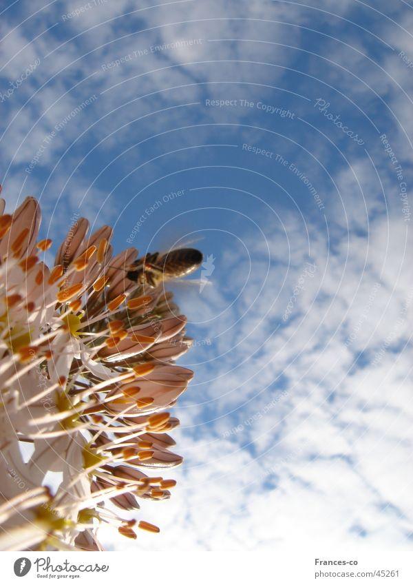 Zierlauch & Biene Himmel Wolken Blüte Biene