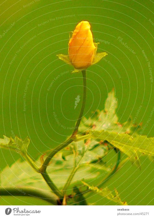 Ranunkelstrauch Blume grün Blüte Sträucher