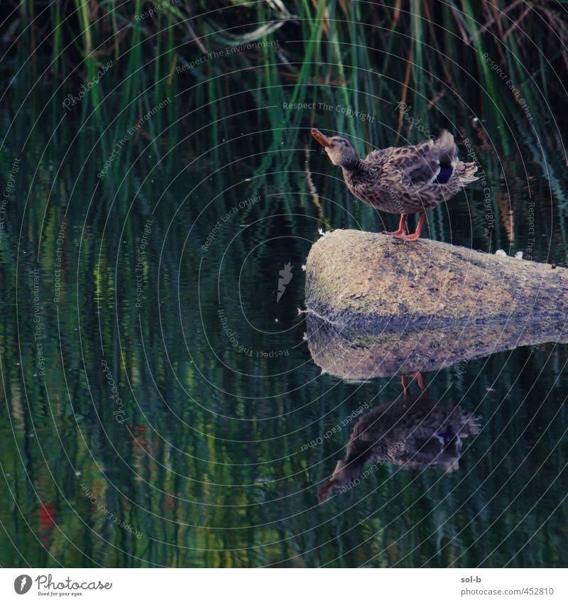 Ente Umwelt Natur Pflanze Wasser Wassertropfen Gras Sträucher Park Flussufer Tier Vogel 1 lustig nass natürlich wild Leben Felsen Wasserspiegelung schütteln