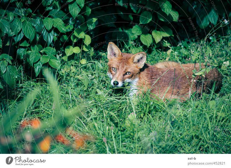 Fuchs Natur Pflanze Gras Sträucher Blüte Garten Park Tier Wildtier 1 nah natürlich Tierliebe achtsam wach Wachsamkeit Vorsicht Erholung Sonnenbad Wildnis