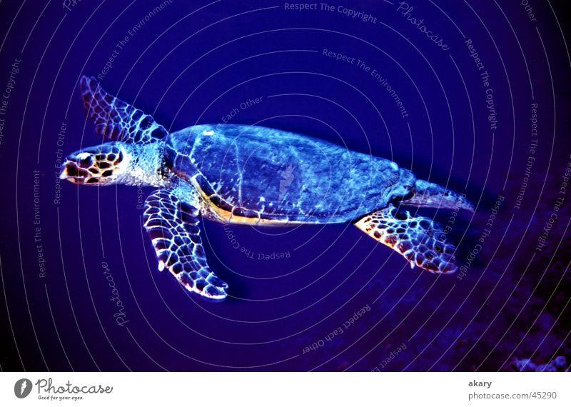 Schildkröte tauchen Unterwasseraufnahme Rotes Meer Turtle blau