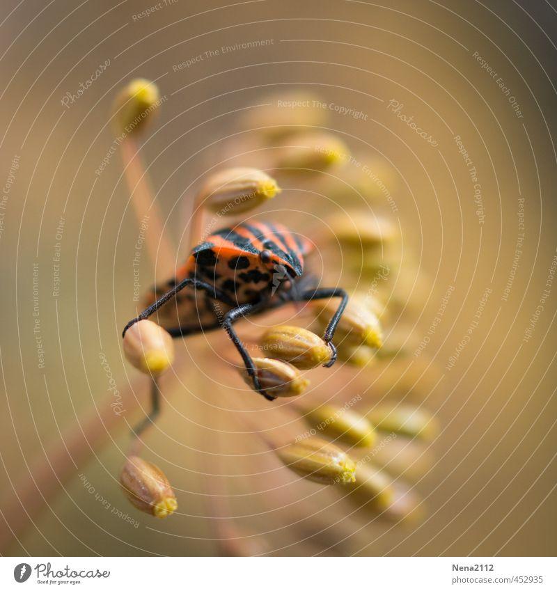 Spätsommerernte Natur Tier Sommer Schönes Wetter Pflanze Blüte Garten Wiese 1 rot schwarz Wanze Insekt gestreift Punktmuster Dill Dillblüten Ernte Farbfoto