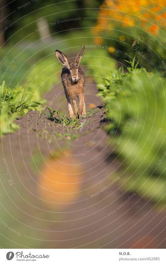 Komm zu mir Hasi Sommer Schönes Wetter Nutzpflanze Feld Tier Wildtier Hase & Kaninchen 1 Blühend laufen authentisch grün orange Neugier Osterhase Osternest