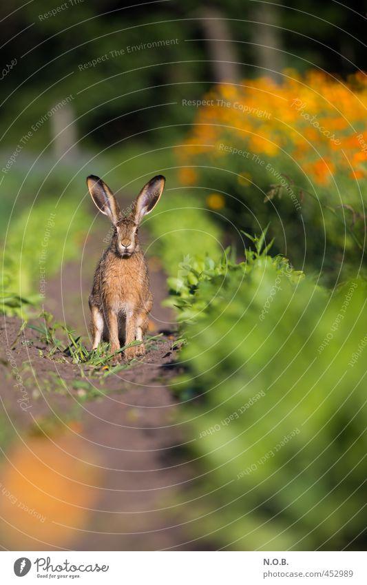 Sperr die Löffel auf! Umwelt Tier Sommer Schönes Wetter Nutzpflanze Feld Wildtier Hase & Kaninchen 1 beobachten grün orange Wachsamkeit Vorsicht Osterhase