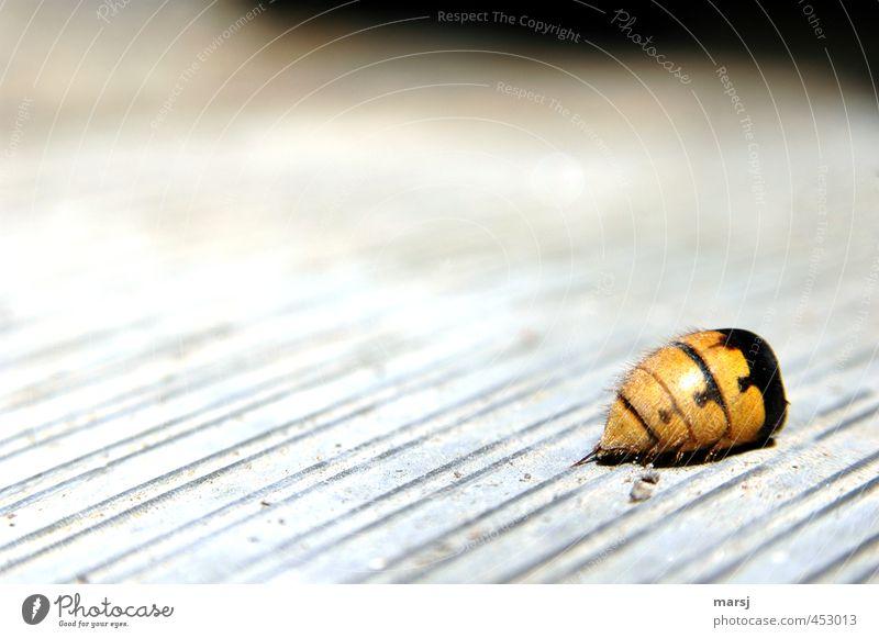 Sogar noch mit Stachel Tier Wildtier Totes Tier Insekt Hornissen Hinterteil 1 alt authentisch bedrohlich dunkel einfach Ekel gruselig hässlich kalt natürlich