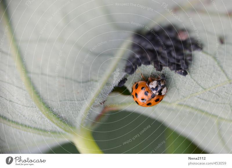 Untermieter | Unter(blatt)mieter mit Tierhaltung Natur Pflanze Sommer rot Blatt Umwelt Wiese klein Essen Garten Park Ordnung Tiergruppe Insekt Käfer
