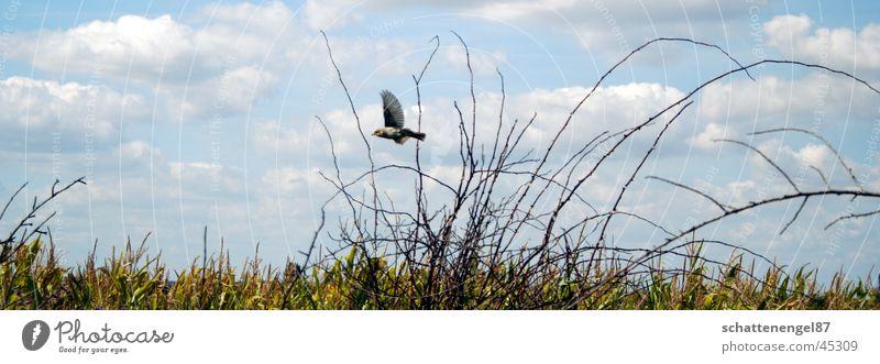 freiheit Vogel Sträucher Wolken grün fliegen Mais Himmel Freiheit kleiner vogel Flügel Natur Spaziergang