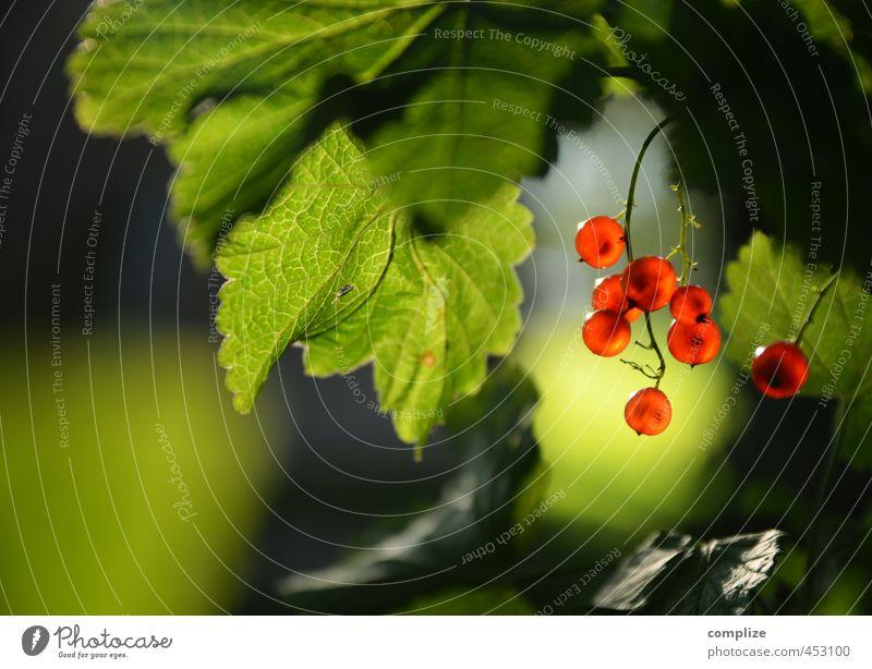 Johannes Lebensmittel Frucht Ernährung Essen Picknick Bioprodukte Vegetarische Ernährung Diät Gesundheit grün rot Johannisbeeren Sonnenlicht Beeren
