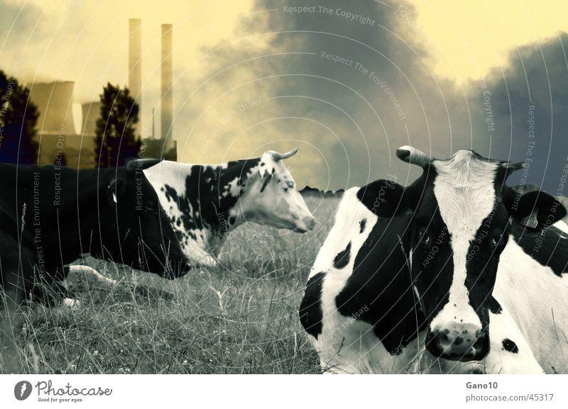 Biomilch Umwelt Landschaft dreckig Energiewirtschaft Kuh Rauch Umweltverschmutzung Stromkraftwerke Luftverschmutzung