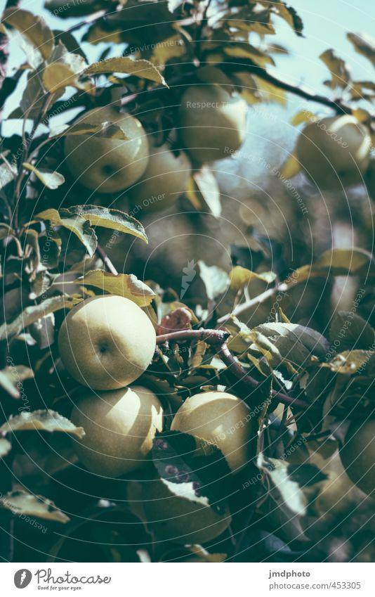 Apfel Ernte Lebensmittel Frucht Ernährung Diät Gesundheit Umwelt Natur Pflanze Sommer Schönes Wetter Baum Nutzpflanze Apfelbaum Apfelblüte Apfelsaft Apfelstiel