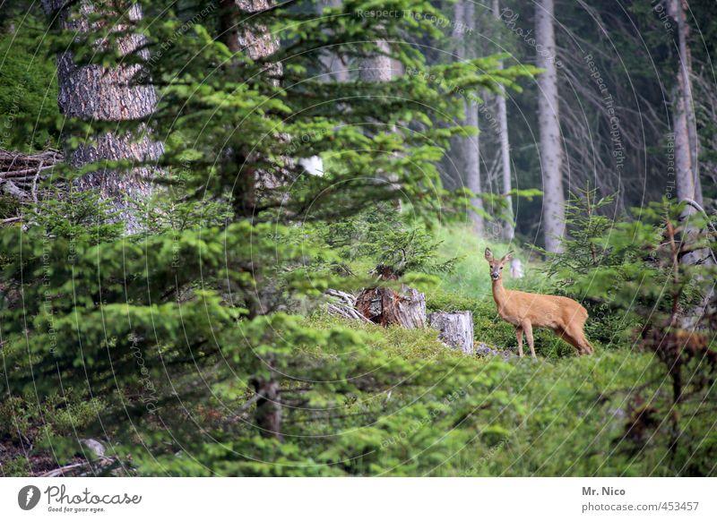 reebok Umwelt Natur Baum Sträucher Wald Tier Wildtier 1 beobachten Reh Wildwechsel Ricke Pflanze Idylle Landschaft Jagd Jagdrevier Hügel Wachsamkeit Farbfoto