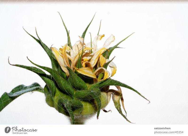 Verwelkt Sonne Blume grün Pflanze Sommer gelb Blüte Sonnenblume Blütenknospen
