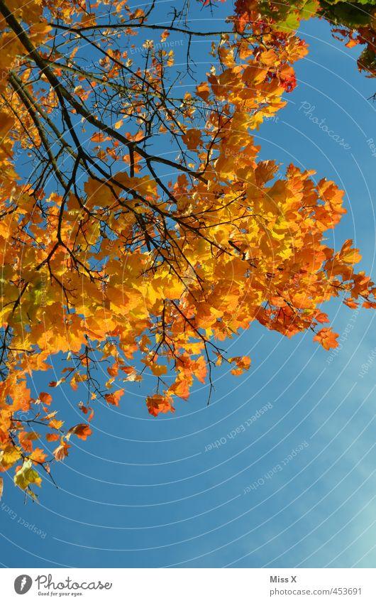 Goldener Herbst Natur Farbe Baum Blatt gelb orange gold Schönes Wetter Ast Wolkenloser Himmel Herbstlaub positiv herbstlich Herbstfärbung Herbstbeginn