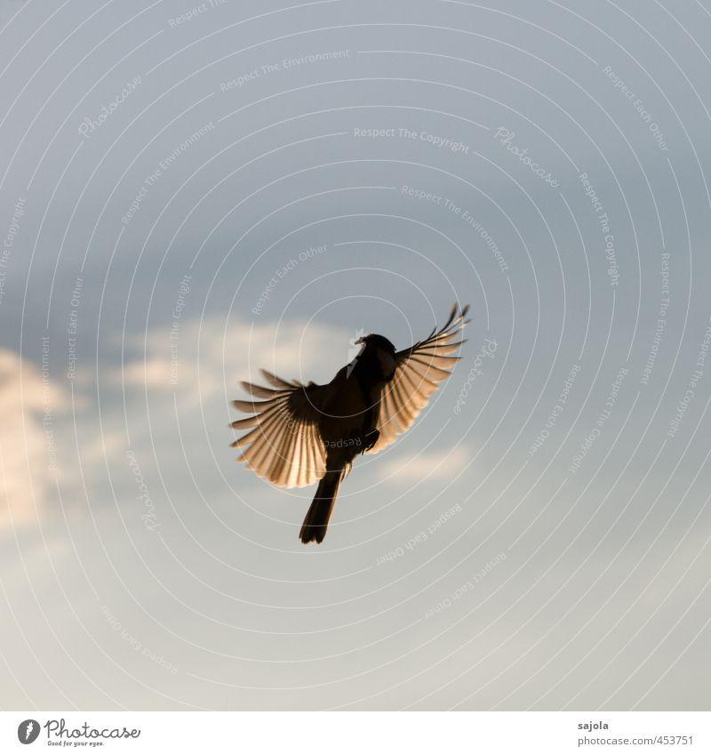 Tier | Flug ins Licht Natur Himmel Wolken Wildtier Vogel Kohlmeise 1 ästhetisch blau fliegen Feder Flügel Landen füttern Farbfoto Außenaufnahme Menschenleer
