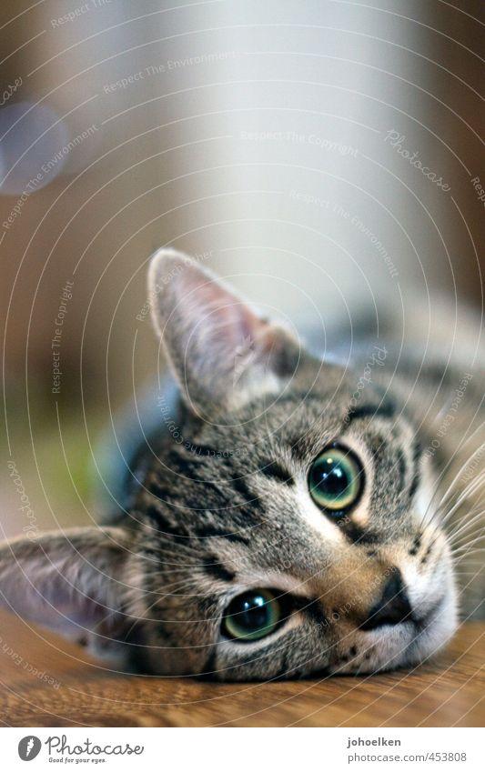 Untermieter | mit Hundeblick Katze grün Erholung Tier Tierjunges klein liegen braun glänzend Kommunizieren genießen Sicherheit Kontakt Fell Vertrauen Tiergesicht