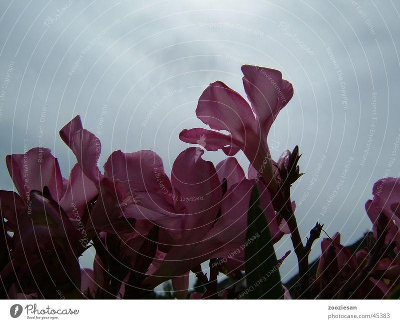 oleanderblüten Oleander Blüte rosa Blatt Blume Licht Blütenblatt Vergänglichkeit Makroaufnahme Nahaufnahme Himmel Wind Traurigkeit