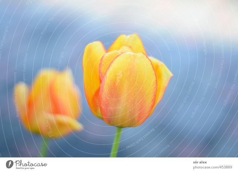 Natur schön Pflanze Blume gelb Liebe Gefühle Frühling Blüte Glück Blühend Lebensfreude Duft exotisch Tulpe Vorfreude