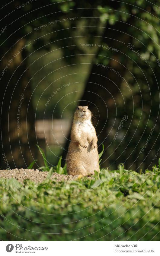 Alles im Blick Tier Wildtier Tiergesicht Fell Pfote Präriehund Säugetier Nagetiere beobachten hören stehen Freundlichkeit klein natürlich Neugier niedlich braun