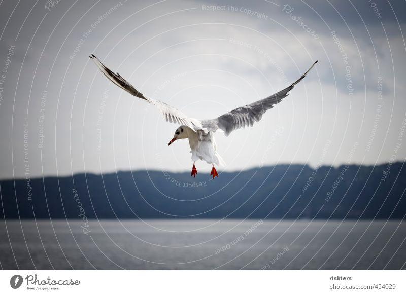 never look back!! Umwelt Natur Sommer Herbst Schönes Wetter See Tier Wildtier Vogel Möwe 1 fliegen Blick ästhetisch elegant frisch natürlich blau rot Kraft