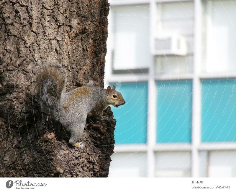 Großstadthörnchen blau Stadt weiß Baum Tier Wand Mauer grau klein braun Park Fassade Wildtier Hochhaus frei niedlich