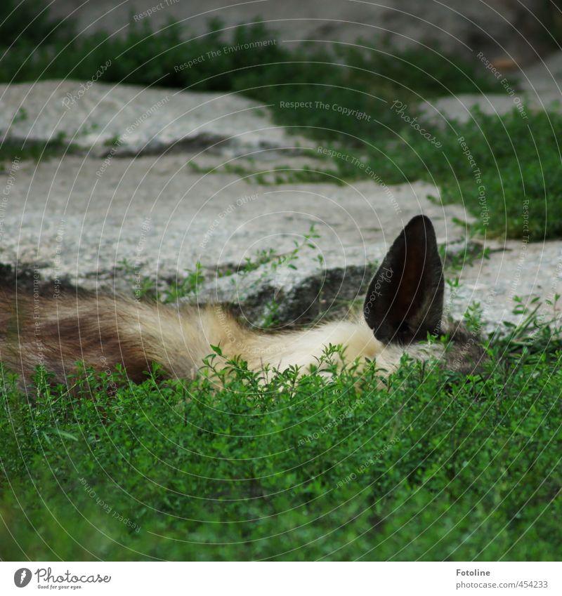 Lauschangriff Umwelt Natur Pflanze Tier Urelemente Erde Grünpflanze Wildtier Fell 1 natürlich wild grün Stein Felsen Ohr schlafen hören Farbfoto Gedeckte Farben