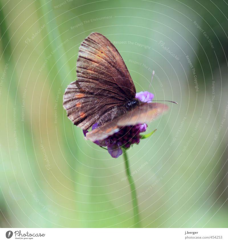kleines Braunes Natur Tier Wildtier Schmetterling 1 warten braun grün Blüte Blume Farbfoto Gedeckte Farben Außenaufnahme Nahaufnahme Detailaufnahme