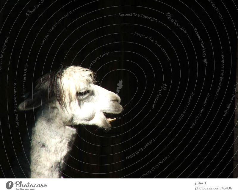 lama Zoo Tiergarten weiß Schnauze Lama Kontrast Gebiss Haare & Frisuren