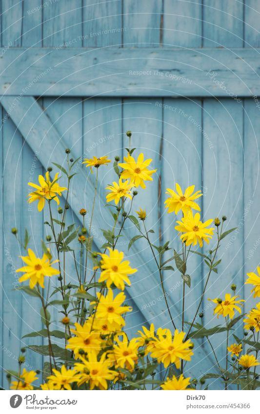 Sonnenblume vor blauer Bretterwand Pflanze Sommer Blume Blüte Topinambur Garten Park Hütte Scheune Mauer Wand Holzwand Holzbrett Balken Blühend leuchten