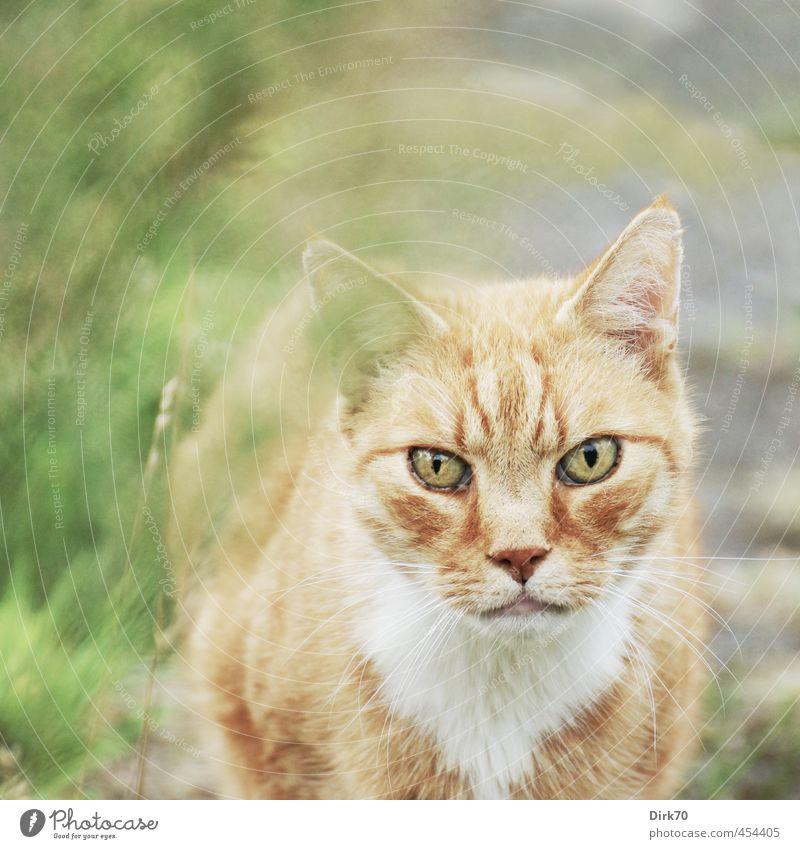Starrer Blick Gras Garten Wiese Wege & Pfade Tier Haustier Katze 1 beobachten Jagd stehen Aggression bedrohlich hell wild braun grün rosa schwarz weiß Kraft Mut