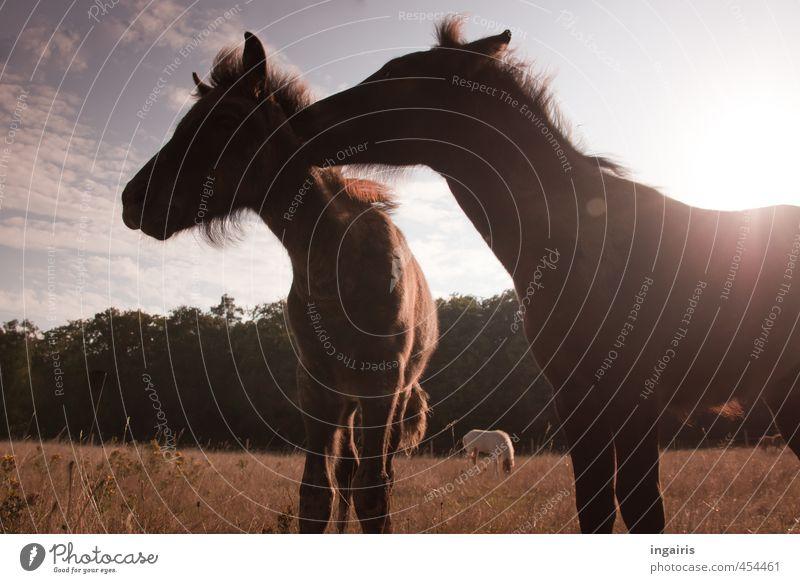 Islandfohlen Natur Landschaft Himmel Wolken Horizont Schönes Wetter Pflanze Gras Wiese Wald Weide Nutztier Pferd Island Ponys Fohlen 2 Tier Tierjunges