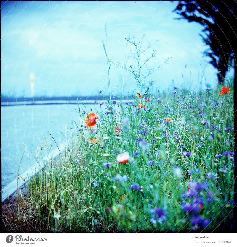 am Rande Garten Kunst Natur Pflanze Sommer Schönes Wetter Blume Sträucher Hanf Mohn Kornblume Fahrbahnmarkierung Straßenrand Straßengraben Blühend Wachstum
