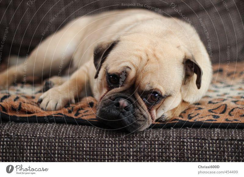 Verträumter Mops Tier Haustier Hund 1 Erholung genießen träumen kuschlig niedlich Zufriedenheit Geborgenheit Tierliebe Gelassenheit Pause Farbfoto Innenaufnahme