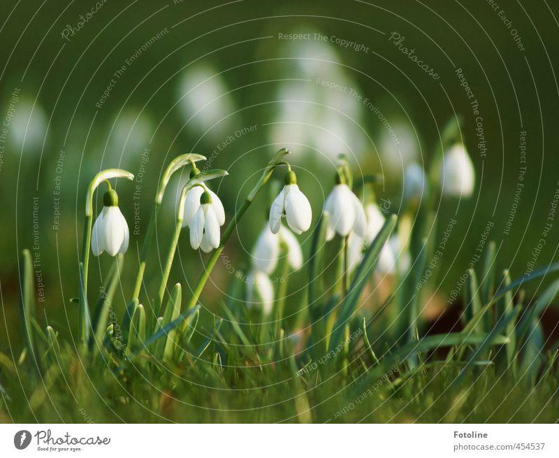 Pflanzen | Klingelingeling Umwelt Natur Frühling Schönes Wetter Blume Blüte Garten hell nah natürlich schön grün weiß Schneeglöckchen Frühblüher Farbfoto