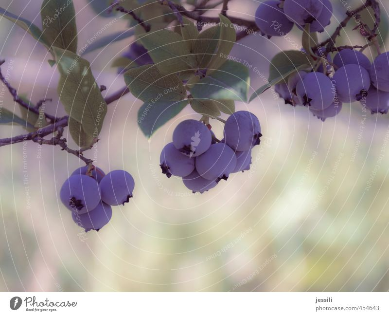 Blueberry Natur Pflanze Sommer Blatt Garten Frucht Erfolg Schönes Wetter Warmherzigkeit Gelassenheit Ernte Partnerschaft Reifen Vorfreude Nutzpflanze geduldig