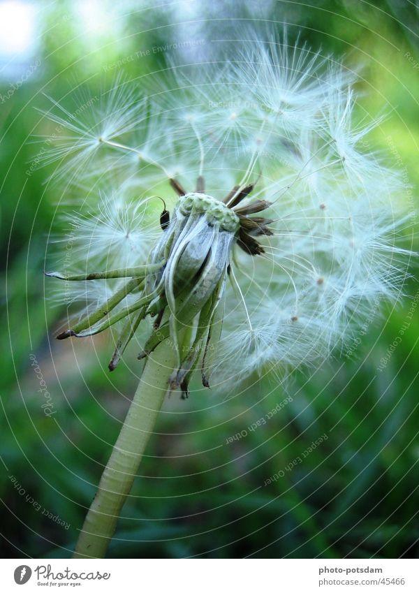 Pusteblume Natur Blume Sommer Wiese Löwenzahn
