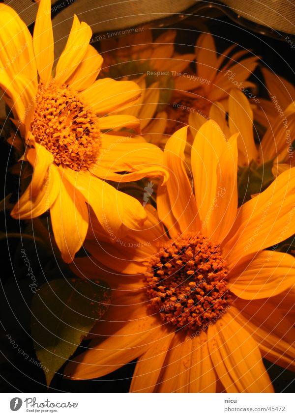 sonnig Natur Sommer gelb Sonnenblume