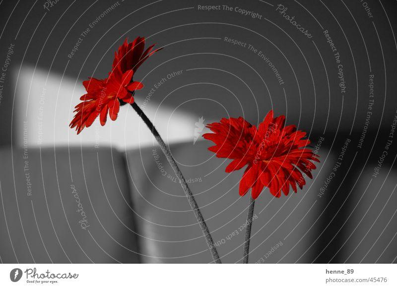 ColorKey Colorkey Blume Blüte Häusliches Leben Schwarzweißfoto Bildbearbeitung