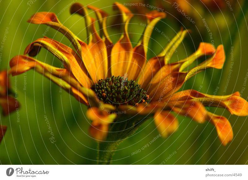 rollblume Blume Pflanze grün Makroaufnahme Tiefenunschärfe orange
