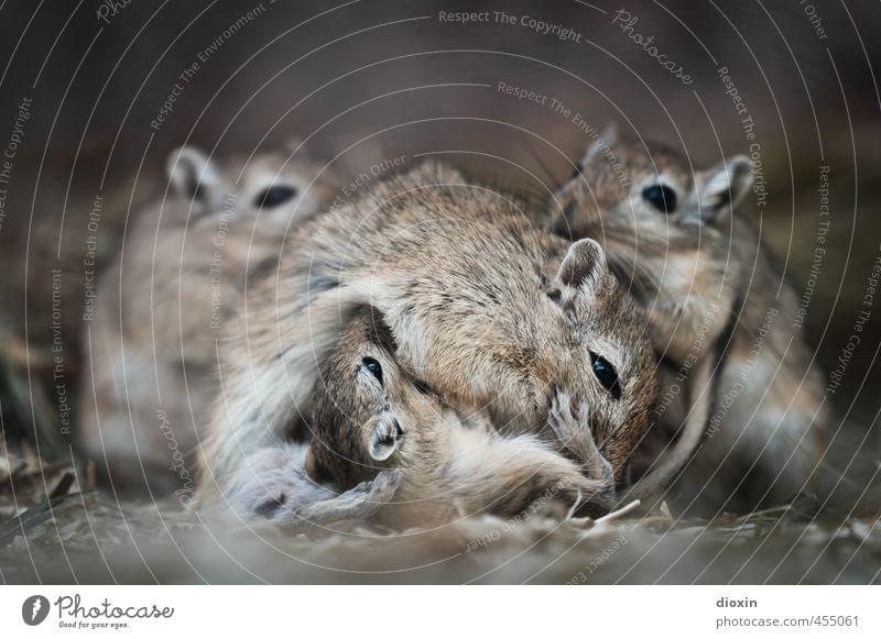 *800* Mother´s Milk Tier Wildtier Fell Maus Mongolische Rennmaus Nagetiere Säugetier 4 Tiergruppe Tierjunges Tierfamilie Fressen kuschlig klein natürlich