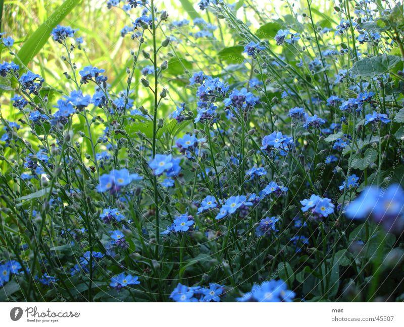 blue flowers Blume blau Gras frisch Vergißmeinnicht