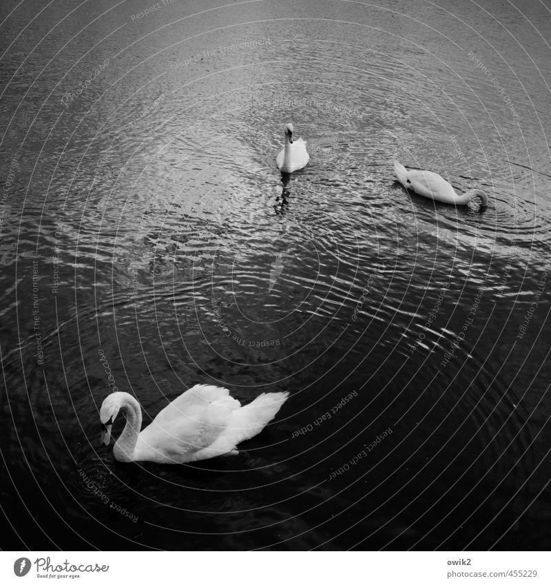 Familienstellen Umwelt Natur Tier Wasser Klima Wetter Schönes Wetter See Wildtier Schwan 3 beobachten Bewegung Erholung genießen schaukeln Schwimmen & Baden